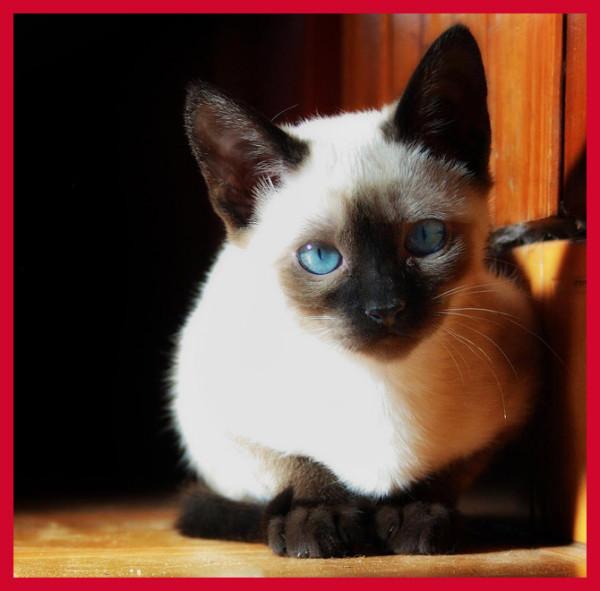 Самая милая кошка в мире. Самые милые породы кошек